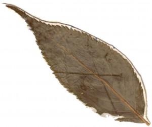 Holunderblatt